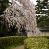 京都御苑で枝垂れ桜を愛でる@2019