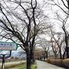【眞原桜並木2017】開花状況 ついに開花! ?2017年4月10日