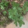 えんどう豆の花が咲き始めました。普通のとこより、1ヶ月ぐらい早いかも。