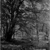 散策路にたたずむ カツラの木