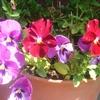 お庭散歩:パンジーと小菊の写真!