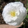 「夏の花(松葉牡丹、西洋風蝶草、百日草&メランポジウム)」に寄せて!