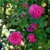 剪定前に軽くカットしたバラはこの暑さで開花