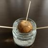アボカド種・チューリップ球根