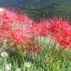 姫路市飾磨区加茂の地蔵川沿いに綺麗な彼岸花が咲いています