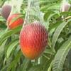 マンゴーの収穫始まる(熊本県)