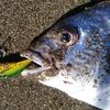 【春チニング】メタルバイブを使っての河川でのチニング釣行!