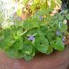 今朝の庭から・・・スイートヴァイオレット、菊