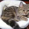 【ミヌエット】キジトラ猫*サバトラ猫の性格