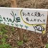 【畑】苗畑、芽吹く