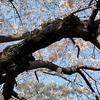 3月27日(水)8分咲きとなった桜と、南羽生での取材。