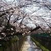 柿生の桜並木