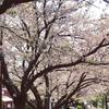 桜の下で読書