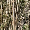 松と竹との闘いの場 光念寺の伝説(三浦市)