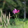宇宙と秋の花のコスモス