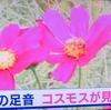 神原町花の会(花美原会)(357)     地域の話題 秋の足音「1.000㎡のコスモス畑」