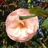大好きな謎のバラ