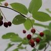 【ジユンベリー収穫!】