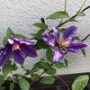クレマチス サムシング ブルーが秋にもよく咲いています