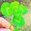 五つ葉のクローバー発見!マリーゴールド種まき!
