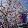 大岡川桜探訪 #7