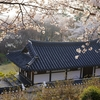 韓国「花の香りにコロナ警戒心が緩む?公園や遊歩道は見物客でいっぱい」