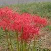 散歩~多摩川の土手に真っ赤に燃える彼岸花