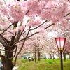 広島 造幣局の桜の通り抜けは満開であでやかな景色 平成最後の貨幣セットの発売には長い列