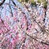 まだ見頃でない梅や桜の木はどう撮るべき?アイデア3つほど!
