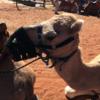エアーズロックリゾートでかわいいラクダに乗る。Uluru Camel Toursの利用方法をまとめています。