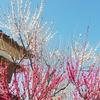 梅が咲いて花粉が飛びまくる今日この頃です