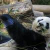 パンダとワイン…無理矢理にこじつけてみた!【知られざるパンダとワインの関係】