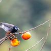 🐤野鳥の回【16】🆕ムクドリ(椋鳥)スズメ目ムクドリ科