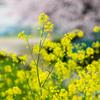 ■雨の日も桜、のつもりが春の息吹探し