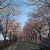 伊佐沼の桜は8部咲き