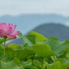 花の撮影で人気のスポット奈良県藤原宮跡へ蓮の花を撮影しに行った来た。ついでにおふさ観音風鈴まつりとか。
