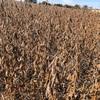 大豆の収穫真っ盛り… 枝豆となり方が違う? 大豆の対中国輸出政策などが今回の大統領選にも影響したのかな??