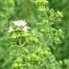 畑のハーブの花3