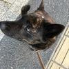 甲斐犬サン、ドッグショー への道〜٩( ᐛ )وガンバルンバ!