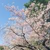 上野公園でお花見してきた