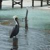 ベリーズ 島で見るペリカンとエイ
