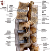 脊柱の靭帯