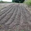 ラボ畑3の小麦