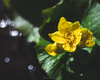 エゾノリュウキンカ(ヤチブキ)が咲く頃の高揚感は年追うごとに増すばかり