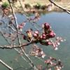 4/2 桜だより。