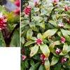 ジンチョウゲが咲き始めました.香りは一級品.日本にはほとんど雄株しか無いそうです(多分これはラッキー.二三個の実で子供が死に至る) もとは月桂樹の意味だったダフネの名をいただいて,春を予告しています