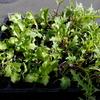 水菜とレタスを植え付けました