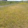 月曜日 河川敷の黄色い花