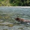 ランは気持ちよさそうに気田川で泳いでいた