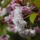 気多白菊桜(後編)